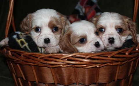 male and female Cavalier King Charles Spaniel Puppies for sale