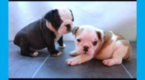 Lovely English Bulldogs for Pet Lovers
