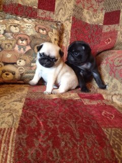 Well Trained Pugs for Sell