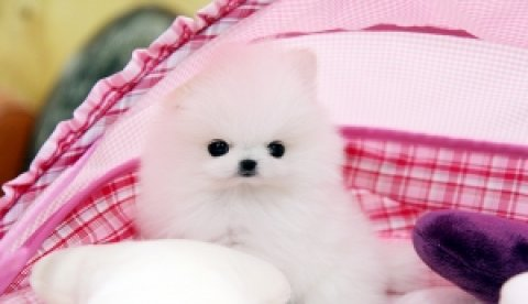 Pomeranian puppies available for adoption