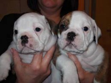 ADORABLE english bulldog puppies for a happy home .