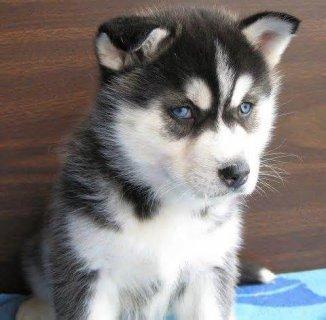 Cute Siberian husky.