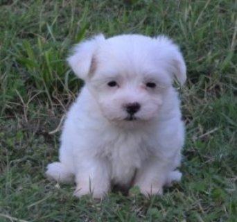 Gorgeous Teacup Maltese puppies for adoption