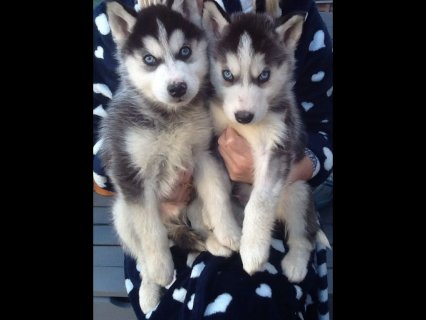 Sweet Siberian husky puppies For Sale