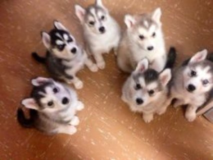 Excellent Siberian Husky Puppies for sell