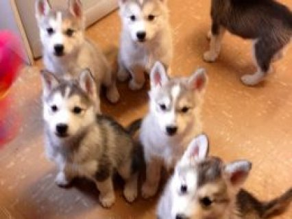 Pure Bred Siberian Husky Puppy for sell