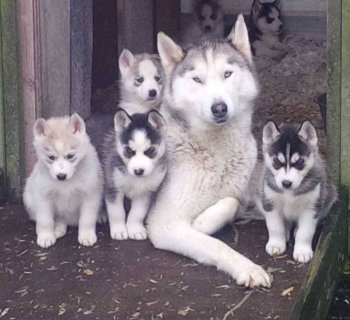 صور Registered Purebred Siberian Husky Puppies for sell 1