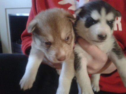 Cute and Adorable siberian husky Puppies for Sel
