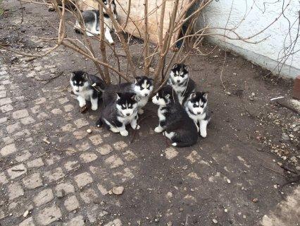 Affectionate Siberian husky  Available
