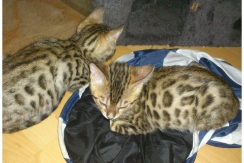 Cute Bengal kittens available for a new home