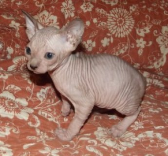 male and female Sphynx Kittens For Sale