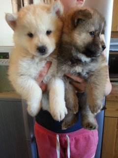 Stunning litter of chow ski puppies available  For Sale