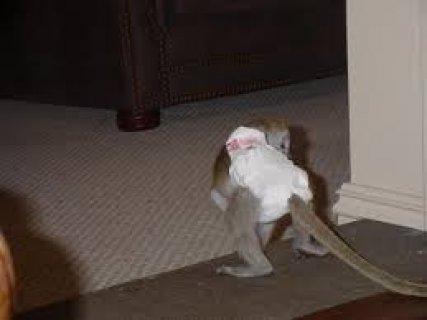 aFemale Capuchin Monkey Available