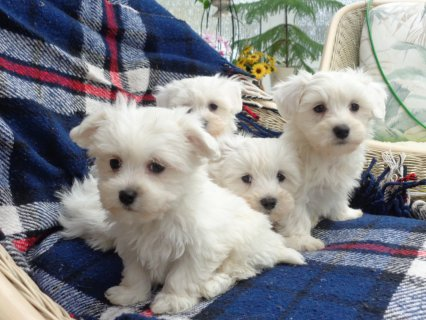 Cute and Adorable maltese Puppies