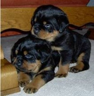Sweet Rottweiler Puppies
