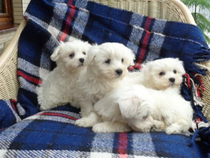 Beautiful Teacup Maltese Puppies for Sale