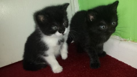 male ande female main coon kittens for your home.