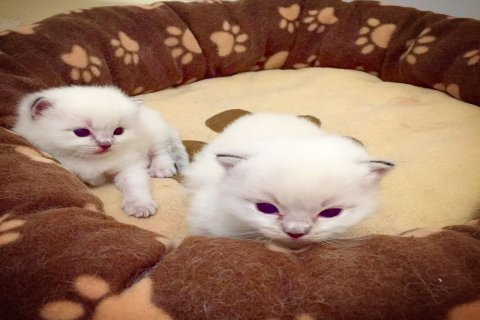 Home Raised Ragdoll Kittens For Sale
