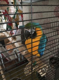 Scarlet Macaw Parrots For Sale