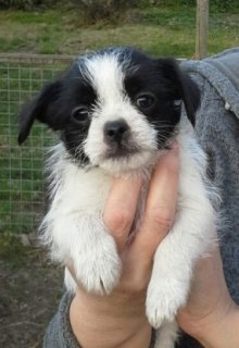 cute beautiful  puppies for  for sale