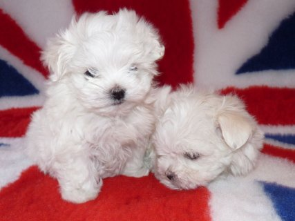 Cute and playful Maltese puppies for adoption