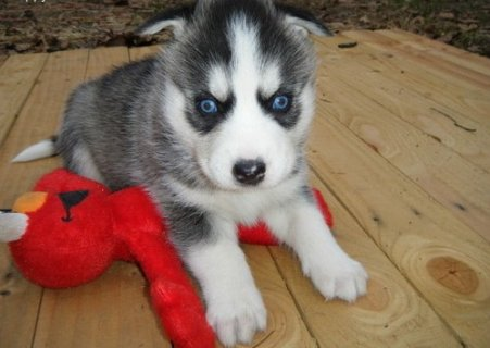 2 New Siberian Husky Puppies with Blue Eyes For Rehoming