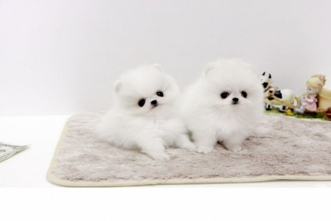 Wow Tiny White Teacup Pomeranian Puppies For Sale