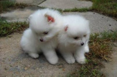 Two lovely Pomeranian Puppies needs a home now