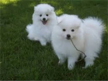 male and female American Eskimo Puppies For Adoption