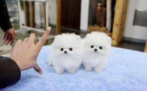 Charming Pomeranian Puppies111331