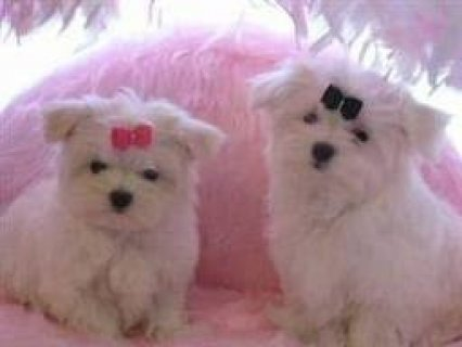 Lovely Maltese puppies for Adoption2222