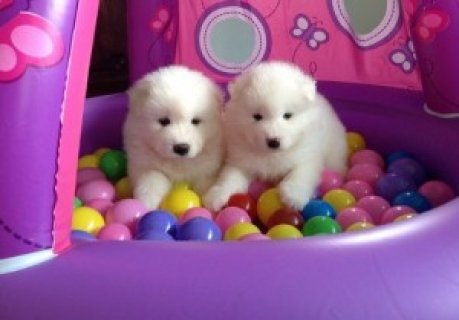 Samoyed Puppies for Sale1231