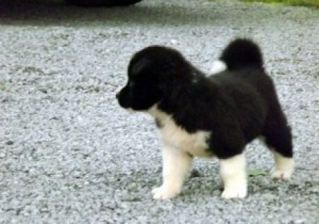 Akita Puppies for Sale112