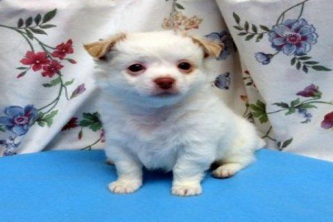 Cute Chihuahua Puppies3333