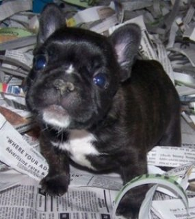 صور Outstanding French Bulldog123 1