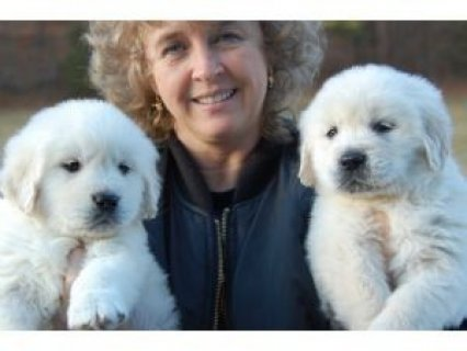 Golden Retriever Puppies Available11111
