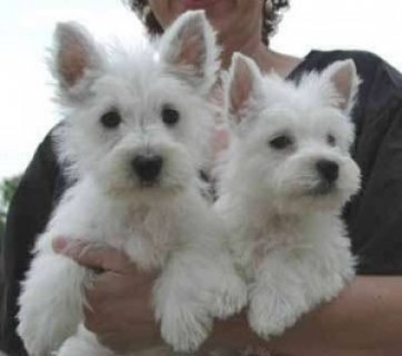 West Highland Terrier Puppies available4341