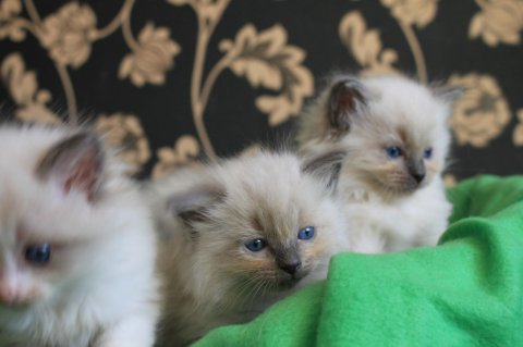 صور Gorgeous Ragdoll Kittens22 1