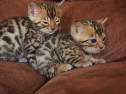 Bengal Kittens for Adoption33