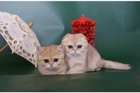 Scottish Fold Kittens44