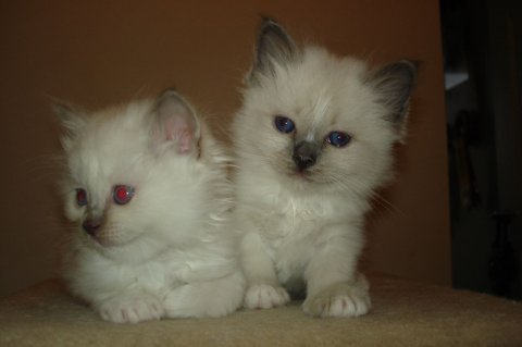 Birman Kittens Available55