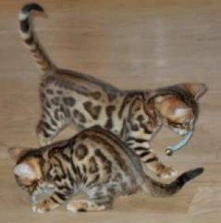 Savannah Kitties for Adoption88