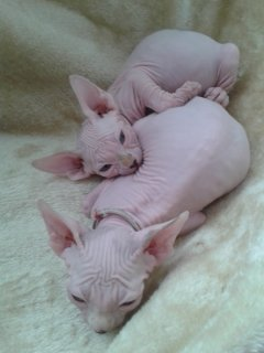Sphinx Kittens available77