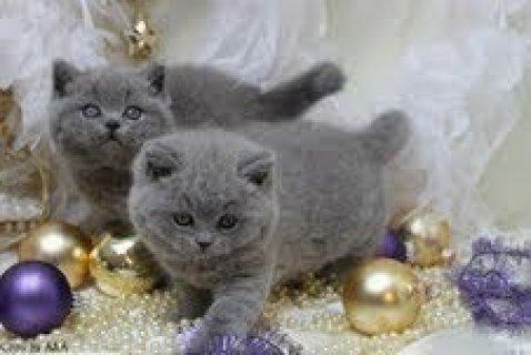 British Short Hair Kittens available99