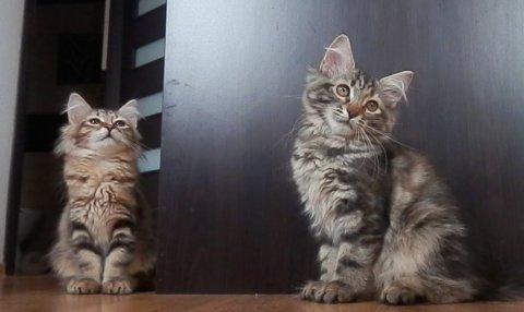 Beautiful Siberian Kittens Available00