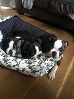 Beautiful Boston Terrier Puppies for sell