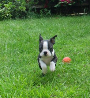 Beautiful Male and Female Boston Terrier Puppies for sell