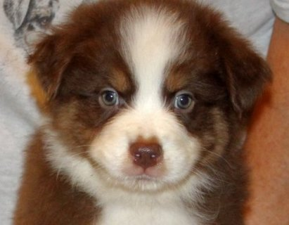 صور AUSTRALIAN SHEPHERD FOR ADOPTION 1
