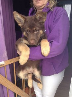 German Shepherd Puppies for sell