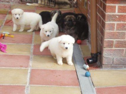 Purebred German Shepherd Puppies for Sale